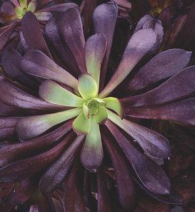Zwartkop - Aeonium hybrid
