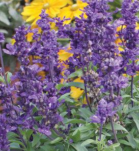 Evolution - Mealycup Sage - Salvia farinacea