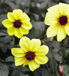 Mystic Illusion - Dahlia hybrid