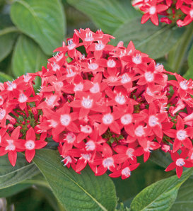 Butterfly Red - Pentas lanceolata