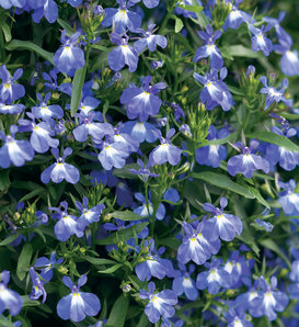 Laguna® Compact Blue with Eye - Lobelia erinus