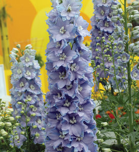 Guardian Lavender - Larkspur - Delphinium elatum