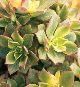 Kiwi - Aeonium hybrid