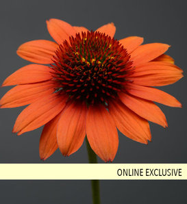 Sombrero® 'Flamenco Orange' - Coneflower - Echinacea hybrida