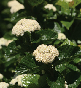 All That Glows® - Arrowwood Viburnum - Viburnum dentatum var. deamii