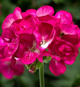 Americana® Violet Ice - Zonal Geranium - Pelargonium zonale