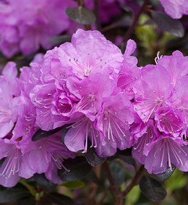 'Amy Cotta' - Rhododendron x