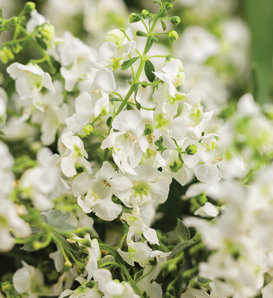 Angelface® Cascade White - Summer Snapdragon - Angelonia hybrid