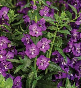 Angelface® Super Blue - Summer Snapdragon - Angelonia angustifolia