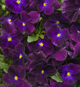 Anytime® Plum Good™ - Pansiola - Viola x wittrockiana