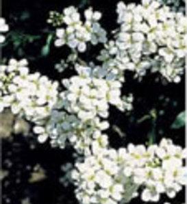 Snow Cap - Rockcress - Arabis alpina
