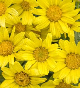 Golden Butterfly® - Marguerite Daisy - Argyranthemum frutescens