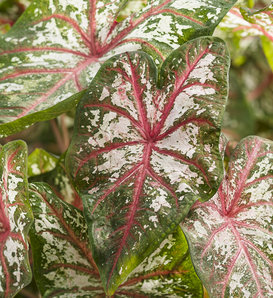 Artful® Fire and Ice® - Angel Wings - Caladium hortulanum