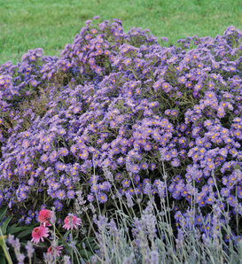 KICKIN® Lilac Blue - Aster hybrid