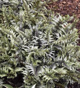 'Crested Surf' - Crested Japanese Painted Fern - Athyrium niponicum