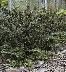 'Crested Surf' - Crested Japanese Painted Fern - Athyrium niponicum