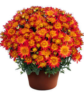 Autumn Sunset Garden Mum - Chrysanthemum grandiflorum