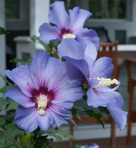 Azurri Blue Satin® - Rose of Sharon - Hibiscus syriacus