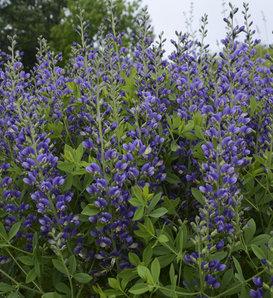Decadence® 'Blueberry Sundae' - False Indigo - Baptisia hybrid