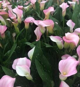 Be My® Princess - Calla Lily - Zantedeschia hybrid