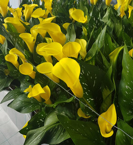 Be My® Sunshine - Calla Lily - Zantedeschia hybrid