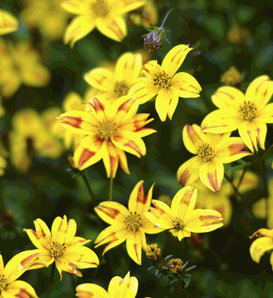 Beedance® Red Stripe - Bidens ferulifolia