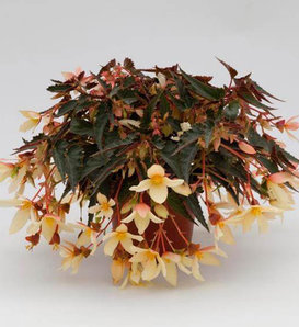 Bossa Nova® Yellow - Begonia boliviensis