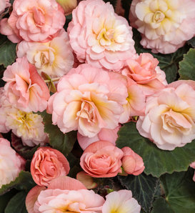 Double Delight® Blush Rose - Begonia hybrid