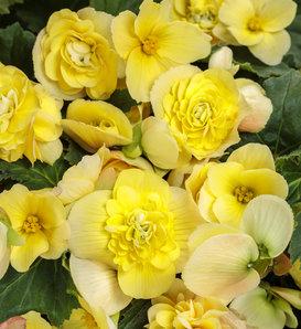 Double Delight™ Primrose - Begonia hybrid