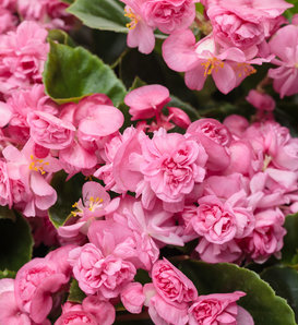 Double Up™ Pink - Begonia semperflorens