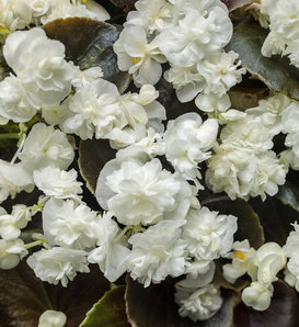 Double Up™ White - Begonia semperflorens