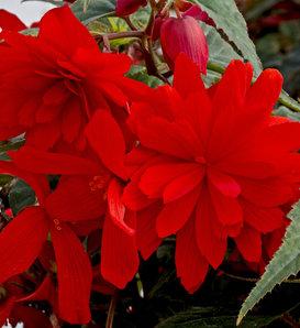 Funky® Orange - Begonia x hybrida