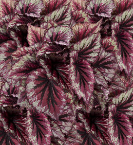Shadow King® Cherry Mint - Rex Begonia - Begonia rex-cultorum