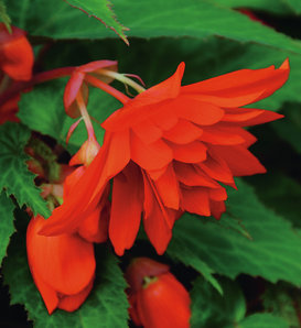 Belleconia™ Hot Orange - Begonia hybrid