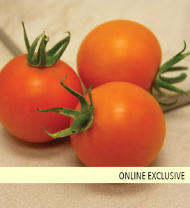 Tempting Tomatoes® Bellini - Cocktail Tomato - Lycopersicon esculentum