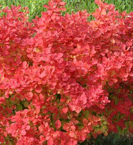 Sunjoy Neo® - Barberry - Berberis thunbergii