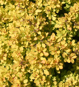 Sunjoy® Mini Saffron - Barberry - Berberis thunbergii