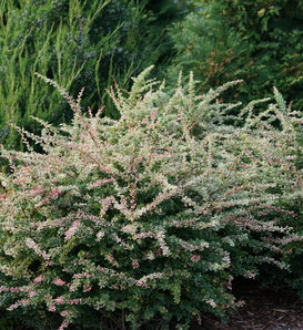 Sunjoy Sequins® - Barberry - Berberis thunbergii