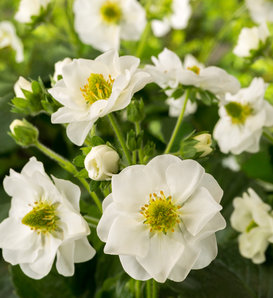 Berried Treasure® White - Strawberry - Fragaria ananassa