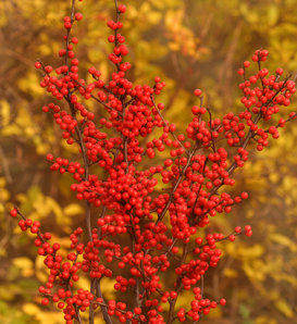 Berry Heavy® - Winterberry Holly - Ilex verticillata
