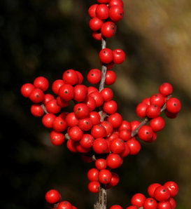 Berry Nice® - Winterberry Holly - Ilex verticillata