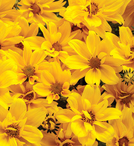 Goldilocks Rocks® - Bidens ferulifolia