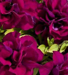 Blanket® Double Zinfandel - Petunia Double - Petunia hybrid