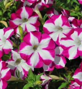 Blanket® Rose Star - Petunia hybrid