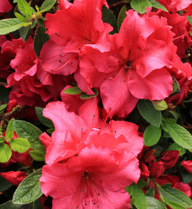 Bloom-A-Thon® Red - Reblooming Azalea - Rhododendron x