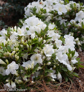 Bloom-A-Thon® White - Reblooming Azalea - Rhododendron x