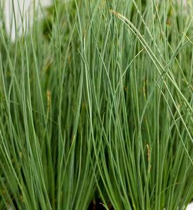 Graceful Grasses® Blue Mohawk® - Soft Rush - Juncus inflexus