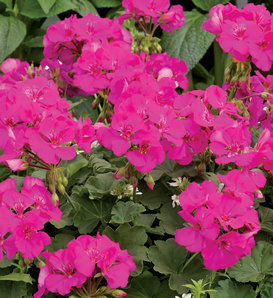 Boldly® Lavender Rose - Geranium - Pelargonium interspecific