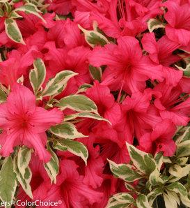 Bollywood® - Azalea - Rhododendron x