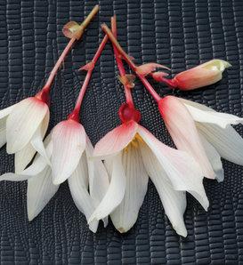 Bossa Nova® Pure White - Begonia boliviensis
